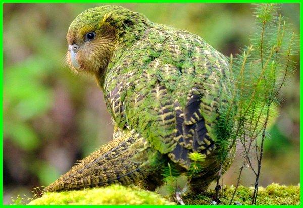 gambar burung kakapo, kenapa burung kakapo tidak bisa terbang, harga burung kakapo, jual burung kakapo, burung nuri kakapo, burung beo kakapo, suara burung kakapo