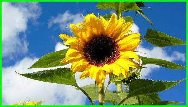 bunga matahari asli,the bunga matahari, bunga matahari besar, bunga matahari ciri khusus, foto di bunga matahari, bunga matahari fotografer, bunga matahari gambaran, bunga matahari hias, bunga matahari hidup di, gambar i bunga matahari
