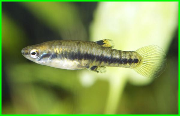 ikan hias kecil murah, ikan hias kecil warna warni, ikan hias kecil warna kuning, ikan hias kecil bagus, ikan hias kecil dan cantik, jenis ikan hias kecil yang cantik