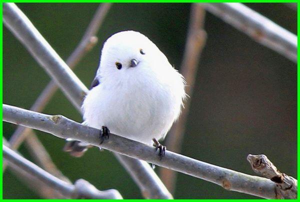 burung khas jepang, burung pleci jepang, burung dari jepang, jenis burung di jepang, burung kicau di jepang, burung endemik jepang, jenis burung emprit jepang, jenis burung jepang, jenis burung pipit jepang