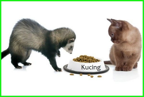 makanan kucing untuk musang, makanan kucing buat musang, manfaat makanan kucing untuk musang, makanan kucing yg cocok untuk musang, apakah makanan kucing bisa untuk musang, musang dikasih makanan kucing, musang makan makanan kucing, musang makan kucing, apakah musang makan kucing, makanan musang kucing