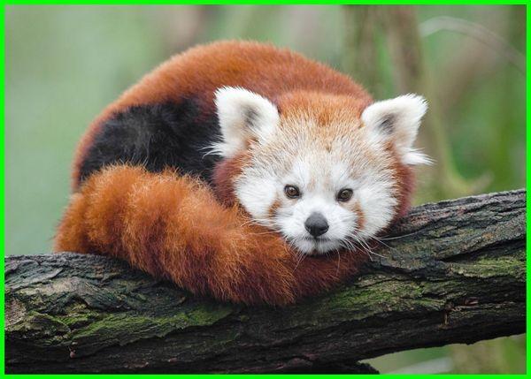 hewan khas di jepang, gambar hewan khas jepang, nama hewan khas jepang, fauna khas di jepang, fauna khas jepang, hewan khas negara jepang, hewan ciri khas jepang