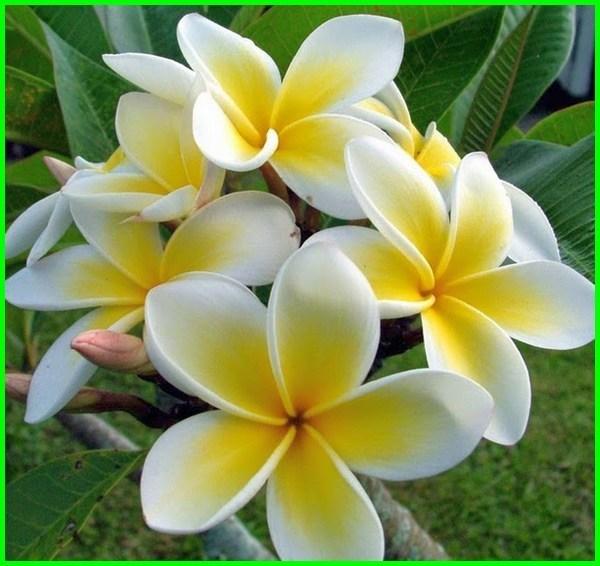 bunga kamboja kuning, bunga kamboja bali kuning, bunga kamboja dan ciri cirinya, tips bunga kamboja cepat berbunga, pola bunga kamboja flanel, bunga kamboja nama ilmiah, bunga kamboja jenis