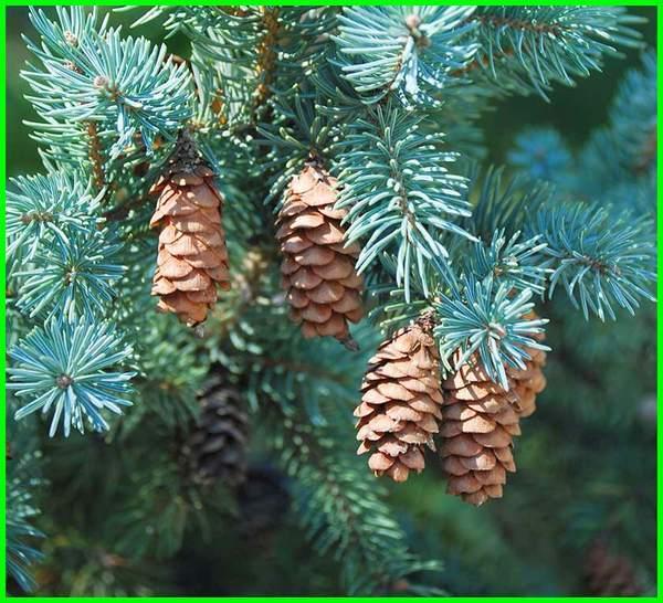 jenis pohon cemara untuk natal, jenis pohon cemara dan gambarnya, ada berapa jenis pohon cemara, berbagai jenis pohon cemara, berapa jenis pohon cemara, contoh jenis jenis pohon cemara