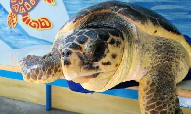 Quattro tartarughe torneranno in mare: a liberarle i volontari del Centro Studi Cetacei