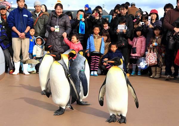 癒されたい人必見! 鴨川シーワールド冬季限定、間近で見られるペンギンの大行進「オウサマペンギンの園内散歩」
