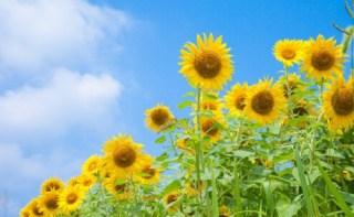 ひまわりパワーで元気な夏を!~夏の定番・ひまわりのお話~