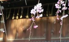 日本人がもっとも好む花<br>「桜」に秘められたエネルギーとは!?