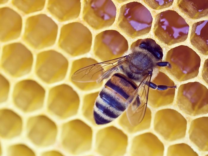 蜂が持つ毒を使ってガンすら治す? 蜂針療法