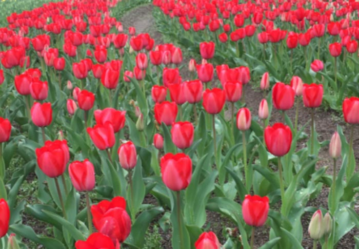 植物たちの力をかりてキレイになろう! 手作りを楽しむ アロマセラピー スキンケア 春編