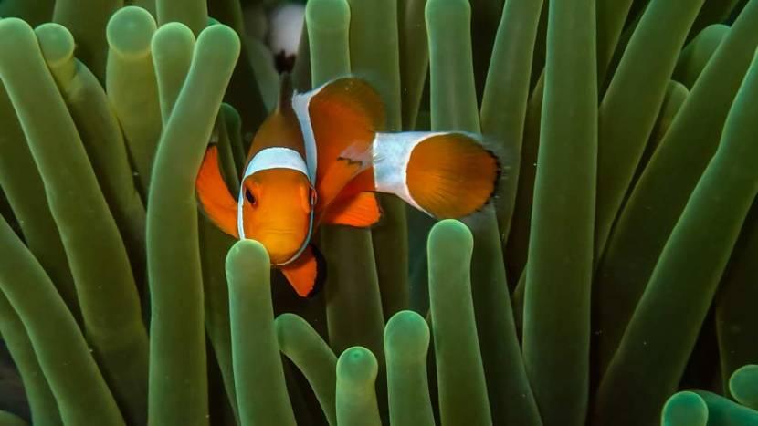 poisson-anemone