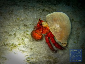 White-spotted hermit crab during a night dive in El Nido Palawan