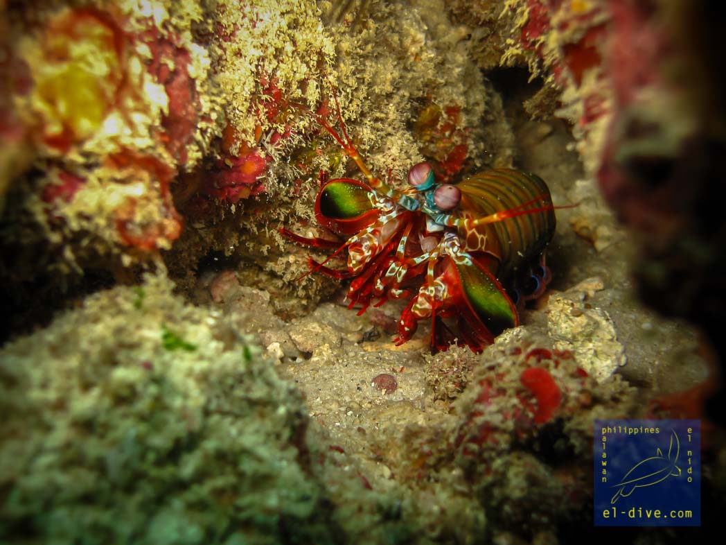 Peacock Mantis shrimp during a night dive in El Nido Palawan