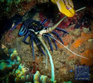 Painted spiny lobster during a night dive in NatNat, El Nido, Palawan