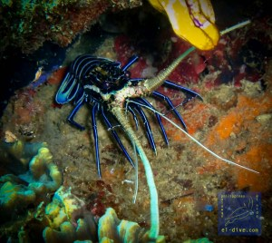 Painted spiny lobster during a night dive in NatNat, El Nido, Palawan