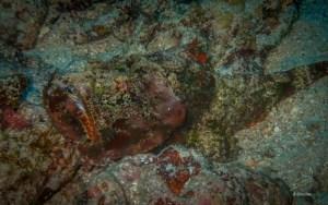 Devil Scorpionfish in North Rock