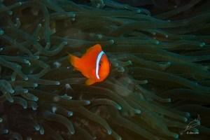 Male tomato anemone fish