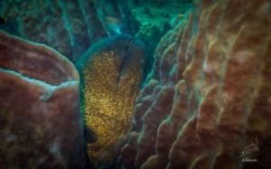 Yellowmargin Moray Eel in South Miniloc