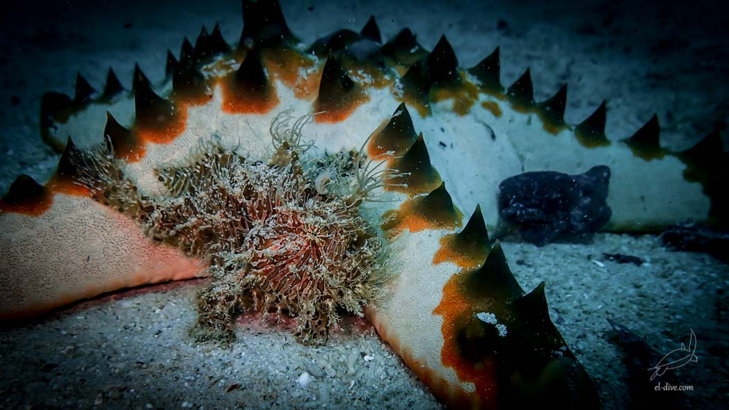 Hairy Frogfish in Paradise beach