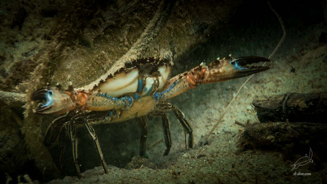 Spotted-swimming crab in Paradise beach