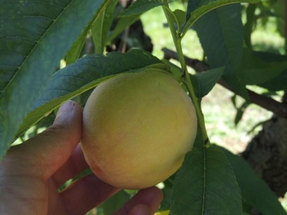 ripe peach #1