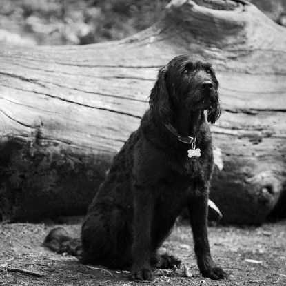 Portuguese Water Dog028