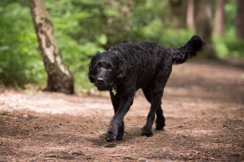 Portuguese Water Dog047