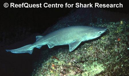 Hexanchus griseus, bluntnose six-gill shark