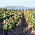 """Ophiusa 2011, un vino de la """"Isla de las serpientes"""""""
