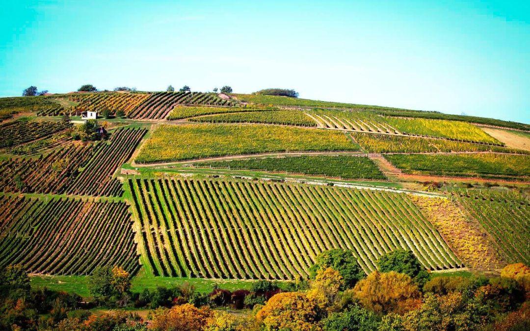 Los vinos secos de Szent Tamás