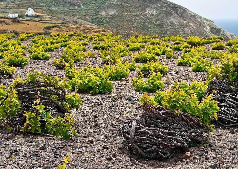 El cuarto vértice volcánico: vinos de Santorini