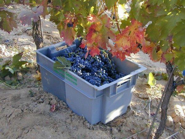Uvas-recolectadas-a-mano. Campos Góticos
