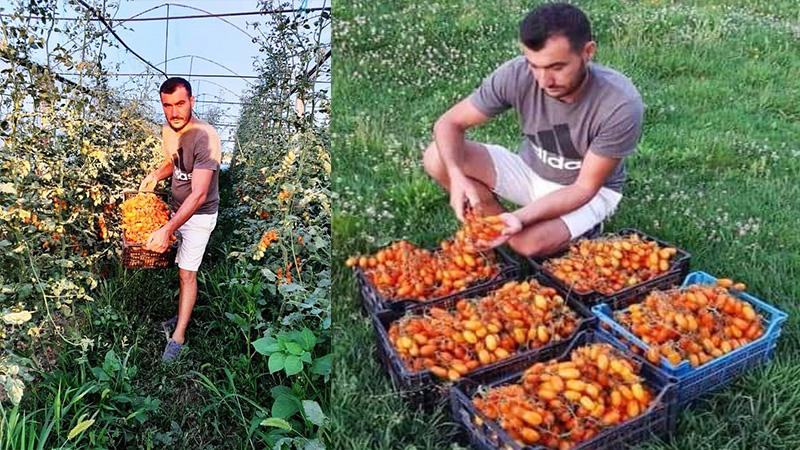 Fermeri i vetëm në Shqipëri që kultivoi gabimisht domaten me çmimin marramendës