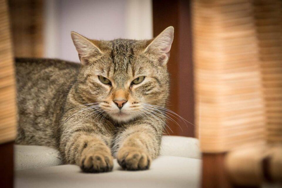Detectan el primer caso de gato infectado por coronavirus en España
