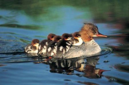 patos - Mamás-animales. Ellas sí que saben