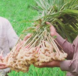 jengibre planta - El jengibre: alimento y medicina