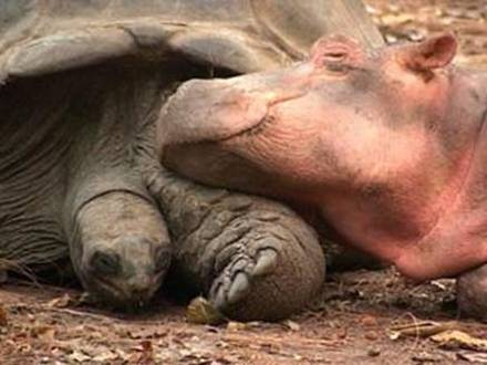 hipo3 - La historia real del hipopótamo y la tortuga: las diferencias no son obstáculo para la ayuda mutua y el Amor
