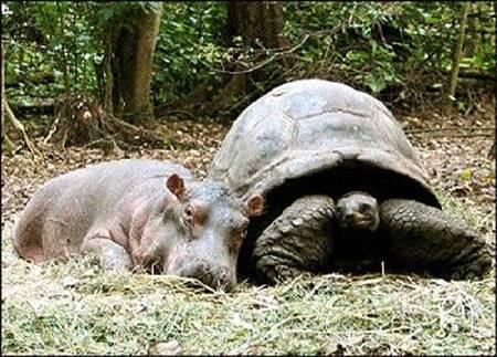 hipo4 - La historia real del hipopótamo y la tortuga: las diferencias no son obstáculo para la ayuda mutua y el Amor