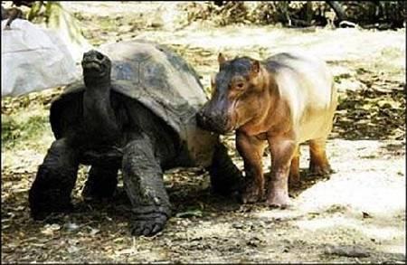 hipo5 - La historia real del hipopótamo y la tortuga: las diferencias no son obstáculo para la ayuda mutua y el Amor