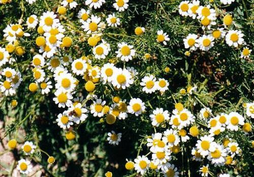 manzanilla rn dic2001 - Manzanilla: Plantas para vivir mejor 2