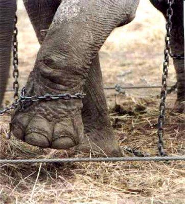 elefante encadenado pata - El elefante encadenado de Jorge Bucay