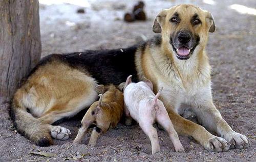 lactancia animal4 - lactancia entre especies