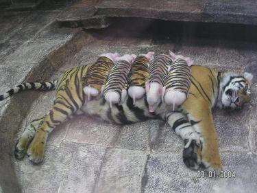 lactancia animal5 - Amor y ternura sin límites: lactancia entre especies