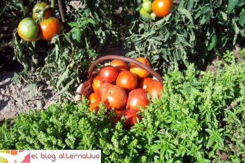 tomates huerta - tomates-huerta