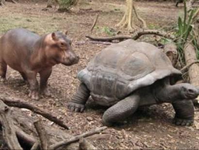 owen2 - La pareja del año 2009: el hipopótamo huérfano Owen y la tortuga Mzee