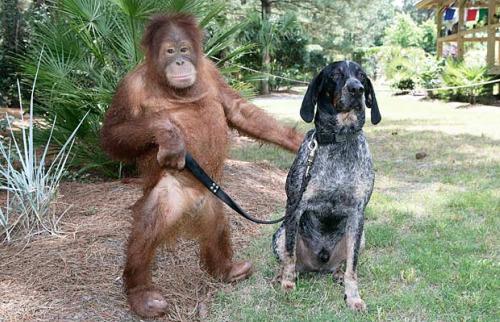 roscoe2 - Suryia, oraguntan, y su amigo el perro Roscoe: otra bella historia de amistad entre animales de diferentes especies