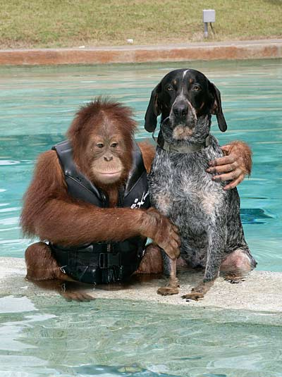 roscoe3 - Suryia, oraguntan, y su amigo el perro Roscoe: otra bella historia de amistad entre animales de diferentes especies