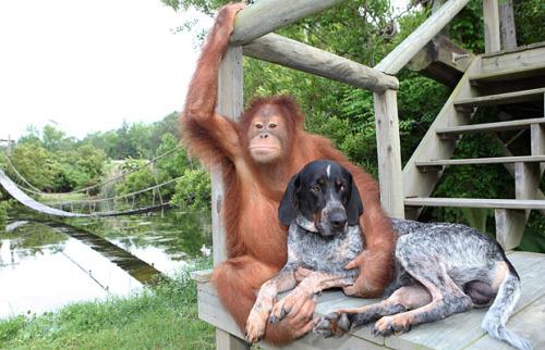 roscoe4 - roscoe animales amistad orangutan perro