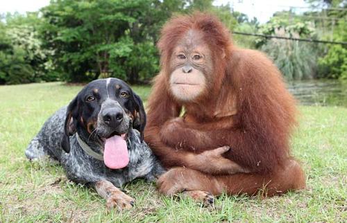 roscoe5 - Suryia, oraguntan, y su amigo el perro Roscoe: otra bella historia de amistad entre animales de diferentes especies