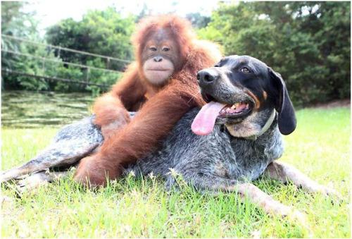 roscoe51 - Suryia, oraguntan, y su amigo el perro Roscoe: otra bella historia de amistad entre animales de diferentes especies
